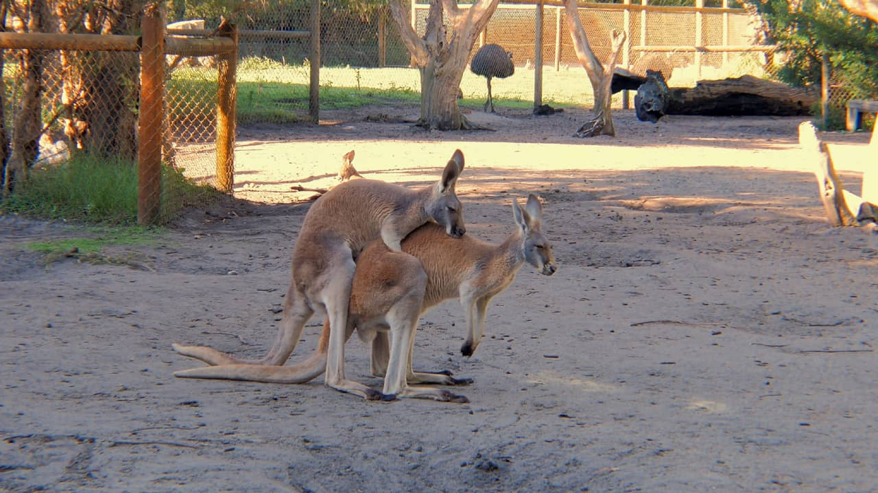 Red Kangaroo Reproduction Area Caversham Wildlife Park Australia