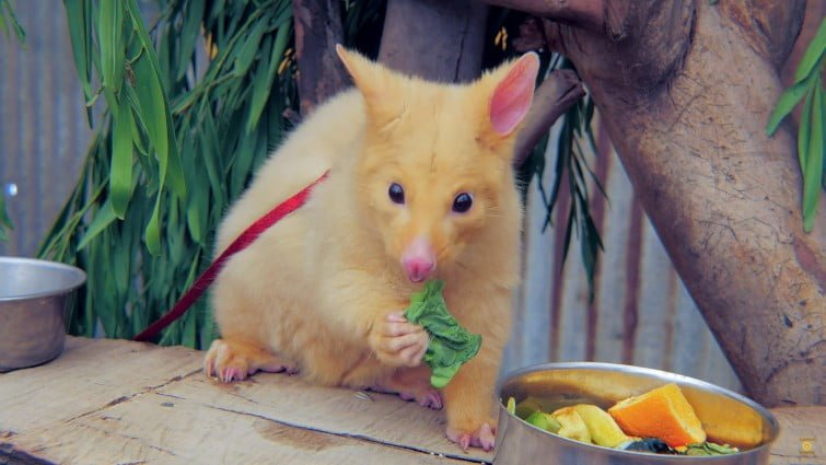 Golden Possum brushtail possums Australia