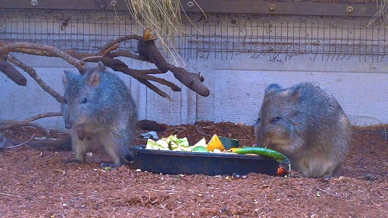 Long-nosed Potoroo Rat Kangaroo Cute Australian Animals